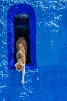The chat marocain