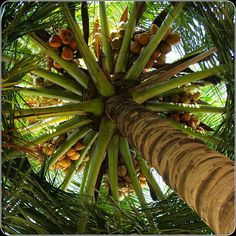 ...what a lovely bunch of coconuts~!