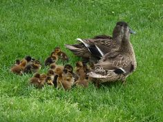 Momma ducks with 26 babies. Amish Farm and House. Lancaster, PA