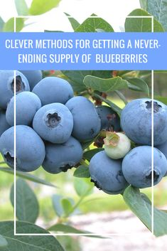 Clever Methods for Getting a Never-Ending Supply of Blueberries