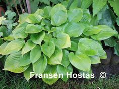 Small bright yellow leaves of good substance that change to apple-green later in the season. A hybrid of a gold sport of 'Blue Dimples' and 'Shining Tot'.   Hosta 'Appletini' is a small Hosta that has pale lavender flowers and grows in half shade/shade. The height is 15 to 20 cm and the growth is fast to medium.