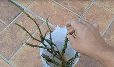 Hogyan szaporíthatsz rózsát dugványozással mindössze 5 nap alatt - Filantropikum.com