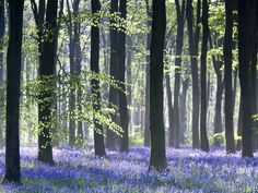 Bluebell Vision Photographic Print at AllPosters.com