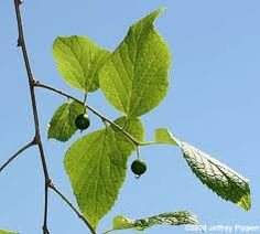 Dwarf Hackberry-Celtis tenuifolia (2013) Endangered species