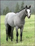"The Blue Roan is a rare color on horses as well as difficult to breed for because the conditions must be ""just right"" or else you get another color of foal."