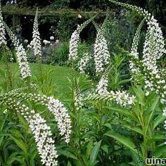 Lysimachia barystachys als vaste plant - Lysimachia woekerplant zoals andere lysimachia soorten White Flowers, Plants, White Gardens, Shade Perennials, Urban Garden, Perennials, Outdoor Plants, Summer Flowers, Flowering Trees