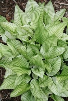 Zebra Stripes Hosta - there are a gazillion varieties of hostas these days - but one thing they all have in common - they do much better in the shade
