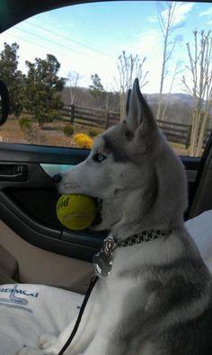 Apollo the Husky with his Tennis Ball...