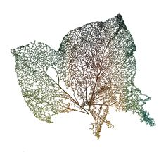 Botanical drawing of a leaf... Love the colors, envy the ability.