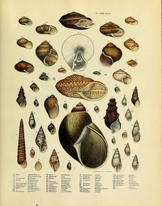 biology illustration Transactions of the American Philosophical Society. Science Illustration, Nature Illustration, Botanical Illustration, Seashell Identification, Sea Art, Creature Feature, Fauna, Illustrations And Posters, Sea Creatures