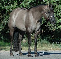 Reeds Poco Vandyke grulla stallion