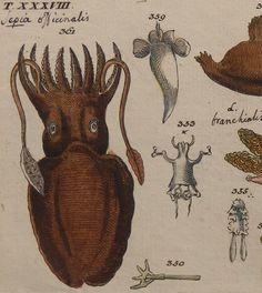 1801.SMALL Antique print.CUTTLEFISH.Wilhelm by CastafioreOldPrints