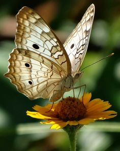#butterfly by Elsimar Chicano on 500px