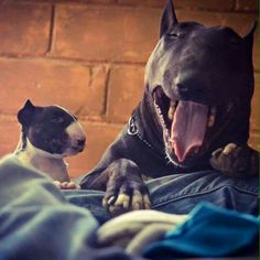 Bullies English Bull Terriers, Bull Terrier Dog, Best Dog Breeds, Best Dogs, Terrier Breeds, Beautiful Dogs, Dog Love, Animals And Pets, Dog Cat