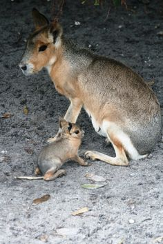 Patagonian Cavy and kid