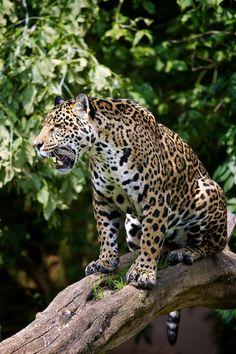 Jaguar, onça pintada, panthera onca