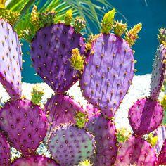 Candy coloured cacti basking in the sun had us like   . .. ... .... #bikiniempire #cacti #cactus #colour #pink #purple #nature #desert #travel #todossantos #mexico #baja #traveldiaries #wanderlust #beauty #explore #adventure
