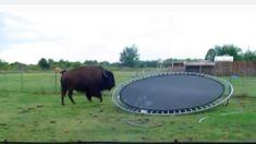 Un bison fait du trampoline [video] [GIF] - http://www.2tout2rien.fr/bison-fait-du-trampoline-video-gif/