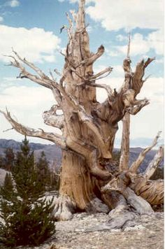 A  bristlecone pine tree from the Ancient Bristlecone Pine Forest in the White Mountains of California. Some of the trees are more than 4,000 years old. A BibArch Photo by John Palmer.