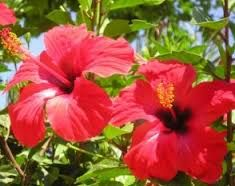 Resultado de imagem para flores comestiveis