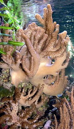 The Alcyonacea, or soft corals, are an order of corals which do not produce calcium carbonate skeletons. Soft corals contain minute, spiny skeletal elements called sclerites, useful in species identification.
