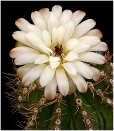 Cactus Cacti Succulent Rain Drop A1 A2 A3 A4 A5 Vintage Art Print Poster