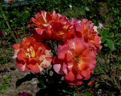 Hot Weather Rose Tips from @Fine Gardening