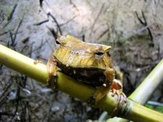 Hemiphractus fasciatus - casque headed tree frog