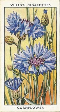 """The beautiful deep blue of this flower is so pure and constant it has become a standard colour, ""cornflower-blue"". Flower Stamp, Flower Art, Botanical Art, Botanical Illustration, Cigar Art, Flower Fairies, Vintage Illustrations, Old Postcards, Vintage Flowers"