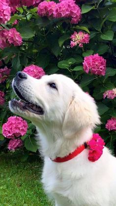 Golden puppy admiring the pretty flowers