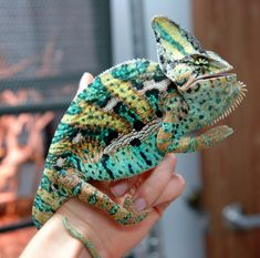 10 Things You Should Know Before You Get A Veiled Chameleon Chameleon Care, Chameleon Eyes, Veiled Chameleon, Insect Photography, Animal Photography, Chameleon Terrarium, Chameleon Enclosure, Cute Lizard, Cute Reptiles