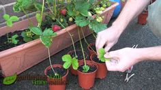 Planting Strawberry Runners, Propagating Strawberries the easy way.