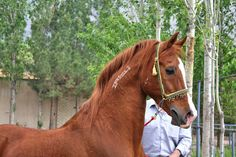 Nasman. Daughters of the Wind: a blog on desert arabian horses, past and present Photo of the day: Nasman, asil stallion of the Nasman strain from Iran - See more at: http://daughterofthewind.org/photo-of-the-day-nasman-asil-stallion-of-the-nasman-strain-from-iran/#sthash.EjbJyTMw.dpuf