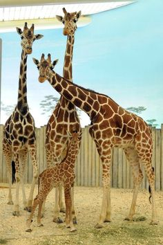 If you could love, nurture, care for one exotic animal species on this earth, what would it be?  I think mine would be the giraffe.