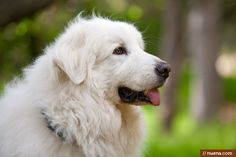 Alibi the Great Pyrenees by Kira Stackhouse #dog #greatpyrenees #dailydog #petphotography