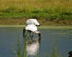 Wood storks foraging in a pond