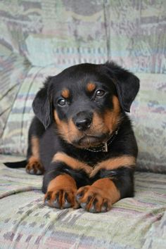 My beautiful rotti as a puppy! Giant now but still super cute :)