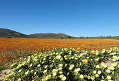 The magnificent Namaqualand with carpets of flowers! Perfect viewing from August-September in Cape Town, South Africa
