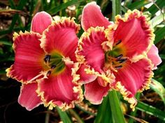 Shade Garden Flowers And Decor Ideas Photo Of Daylily Hemerocallis 'Red Ragamuffin' Uploaded By Vic Exotic Flowers, Amazing Flowers, Beautiful Flowers, Purple Flowers, Shade Garden, Garden Plants, Daylily Garden, La Madone, Asiatic Lilies