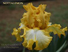 Notta Lemon