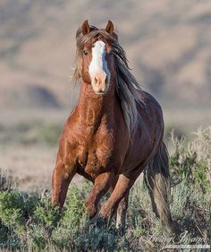 Breathtaking!  A wild sorrel stallion with a wide blaze runs free in the Adobe Town Herd Area in the early morning