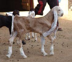 chèvre Hijazi Jordanie photo Naef hajaya (1)