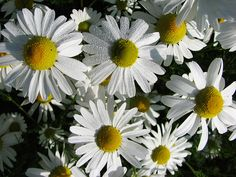 Jak pomáhá heřmánek pravý a jeho použití Plants, Planters, Plant, Planting