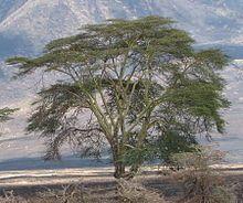 Acacia Xanthophloea           Fever Tree             Koorsboom                  10-25 m             S a no189