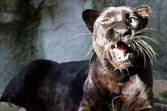The big black cats are black leopards or black jaguars and are not referred to as black panthers by anyone who knows anything about big cats.