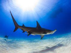 Hammerhai: Furcht einflößender Meeresbewohner