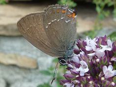 Satyrium ilicis. Ilex Hairstreak. #butterflies #mariposas #vlinders