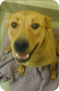 1/13/14 STILL AVAILABLE. Duluth, MN - Labrador Retriever/American Pit Bull Terrier Mix. Meet Amaryllis a Dog for Adoption.