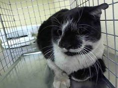 TO BE DESTROYED 9/23/14 ** Poor Antonia is a young, healthy kitty who is scared in the shelter. Who could blame her? Please foster, adopt or pledge to save her life now!! ** Staten Island Center  My name is ANTONIA. My Animal ID # is A1014619. I am a female black and white domestic sh mix. The shelter thinks I am about 1 YEAR  I came in the shelter as a STRAY on 09/19/2014 from NY 10303,