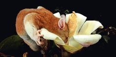 Mit Hilfe ihrer fingerartigen Krallen und ihres Greifschwanzes vermag die Wollbeutelratte tief in den Kelch einer Baumblüte einzutauchen. Deren süßer Nektar ist die Lieblingsspeise des südamerikanischen Baumbewohners, der sich von Pflanzen, Insekten und kleinen Wirbeltieren ernährt. Heute ist die nachtaktive Baumratte von der Waldabholzung bedroht – Diese Karte hier online kaufen: http://bkurl.de/pkshop-211364 Art.-Nr.: 211364 Tieftaucher | Foto: © Christian Ziegler | Text: Rolf Bökemeier